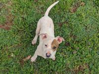 Petey is a beautiful 4 month old Pitbull/ Boxer mix
