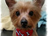 Petey's story Petey is a 10 year Yorkie who acts like