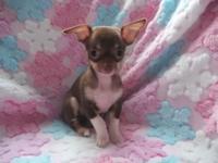 Petite AKC female chocolate Chihuahua puppy. $550.00.