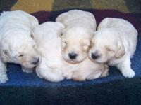 We have a litter of Petite Goldendoodle puppies from