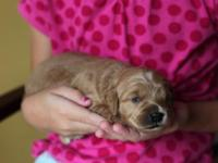 We have a litter of petite goldendoodle puppies, red,