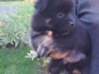 Black pomeranian puppy. 10 weeks old very sweet and