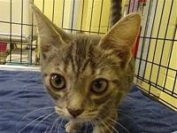 Petunia's story Primary Color: Grey Tabby Weight: 10.4