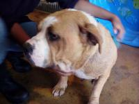 Precious 2-3 yr old female Old English Bulldog mix