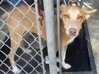 Pharaoh Hound - Arrow - Medium - Young - Male - Dog