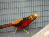 I have numerous red golden pheasant girls still in a