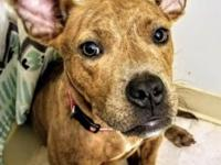 "Phoebe is a 10 month old spayed female ""pocket pittie"""