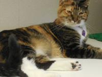 Phoebe is a gorgeous calico or brown patch tabby with
