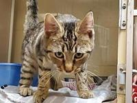 My story Meet Phoenix a 6-7 month old DSH from SC