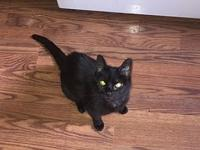 Phoenix's story Phoenix Age: 16 years old DSH/Spayed