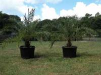 Phoenix Palms, Two Beautiful Palms, in Large pots,