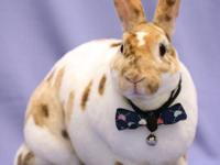 Phoenix is a 3 year old, very handsome Rex rabbit born