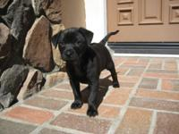 Adorable, Phu Quoc ridgeback puppy female very sweet