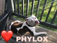 Phylox's story 2 year old Staffordshire Terrier Mix. He