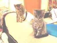 Pixie is a beautiful silver tabby male kitten.