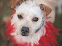 Pickles - Parson Russell/Norfolk Terrier - Male - 2