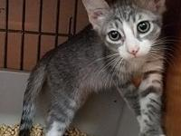 Pico's story Pico is a sweet grey tabby and white