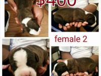 I have 2 Males and 2 females left each comes with UKC,