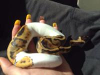 3 Fine Looking piebald ball pythons available and ready