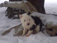 Piebald Siberian Husky puppy - akc - **READY NOW*** -