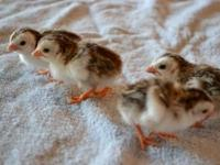 4 newly hatched Guinea Keets for sale. Asking $6.00