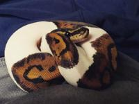 I have a young pied ball python for sale. We are having