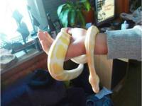 Albino and Piebald Ball Pythons for sale  Hi, we are