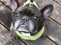 Bonjour Pierre is 3.5 yr/old French Bulldog with a