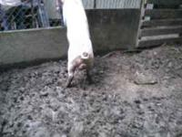 I have 1 intact male pig - good for breeding or eatin -