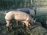 sow pig,,,extra extra friendly,,,,the others went to