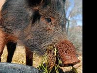 Pig (Farm) - Nick - Large - Adult - Male - Pig Nick and
