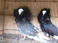 Pigeons ALL Types New Pisture [CALL -  ] Inias fantail