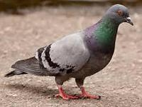 Beautiful pigeons. variety of colors. Easy for kids to