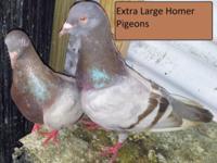 Pigeons & Spanish Pouters (Palomas & Buchones,