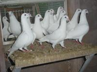 Purebred Trentons. Gorgeous Pure White. 26 Birds