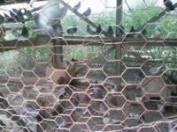 Animal Type: Birds Breed: Pigeons Pigeons, blue bar/