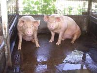Cross bred piglets for sale. They are crossed between