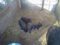 Piglets for sale.....i have 3 to get rid of. they are