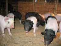 Feeder Pigs born September 4th. Hampshire/Yorkshire