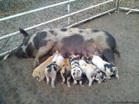 Piglets For Sale: Yorkshire/Duroc/Old Spot mix or F3.