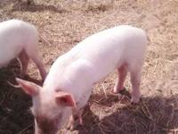 I have 4 piglets that are available for pickup . 2