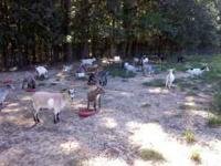 I have around 30 pigmy goats. there is pretty much any