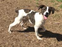 PigPen is a precious male Rat Terrier mix who is