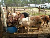 Young good meat boars. About 220 lbs. asking $160 each.