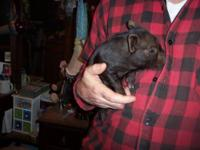 Cute Guinea Hog and KuneKune cross pigs, born 1/31/12.