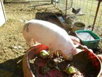 pigs for sale home grown with no shots call for price
