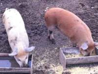 I have two pigs up for sale. The asking price is 200$