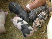 Nice feeder or 4H pigs. Feeder pigs: $50.00 ? $65.00,