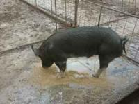 Very nice pigs. High quality for breeding, showing, or