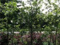 Pin oaks in 25gallon containers 9ft tall 40 to pick
